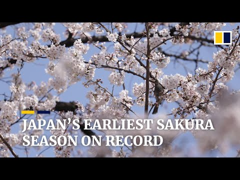 Japan sees earliest cherry blossoms on record