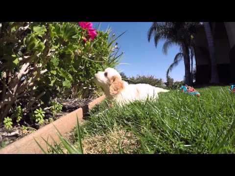 Champagne is our adorable CavaChon Hybrid Female