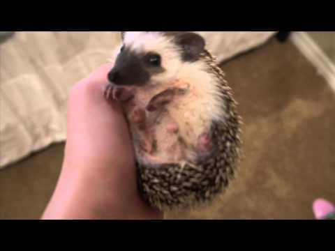 hedgehog - Adventures Of Trevor & Max The Hedgehog (Episode 1) Thumbs up? Enjoy! New O2L vid -- http://youtu.be/TzZYP4Z6f-Y Twitter: http://twitter.com/trevormoran Instagram: http://instagram.com/trevormoran...