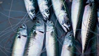 Video Cornish mackerel 'loop' hand-line fishing, Porthkerris off Helford. Nigel Hill. Pisces-RFR MP3, 3GP, MP4, WEBM, AVI, FLV Agustus 2018