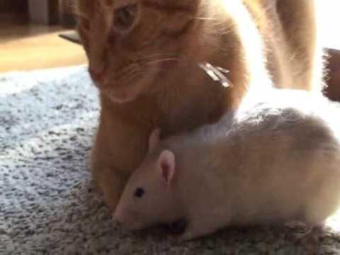 老鼠竟然愛上貓