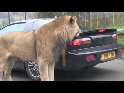 看什麼看??獅子大口一張死咬車子不放,直接追上去~~