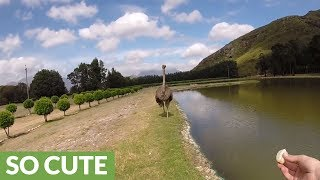 "Huge ostrich makes ""enemies"" at the park"