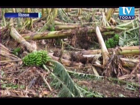 (चितवनमा असिनाका कारण २० करोडको केराखेती पूर्ण रुपमा नष्ट TV Today News Chitwan - Duration: 3 minutes, 2 seconds.)
