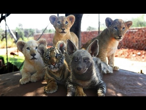 Cuteness - Baby Animals: Baby Lion Cub, Tiger Cub & Hyena Cub Friends Baby Animal Cub Cuteness SUBSCRIBE: http://bit.ly/Oc61Hj FIVE of nature's most fearful animals hav...