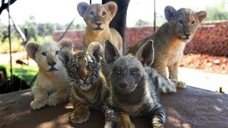 Baby Animals: Baby Lion, Baby Tiger&Baby Hyena Cub Animal Cuteness!