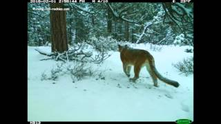 Video A Visit by a Young Cougar (1/30/16 - 2/1/16) MP3, 3GP, MP4, WEBM, AVI, FLV Mei 2017