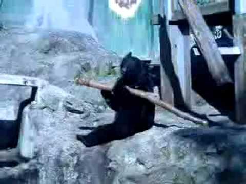 Kung Fu Bär - Fighting Bear