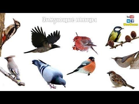 Зимующие птицы. Детям про птиц зимой. (видео)