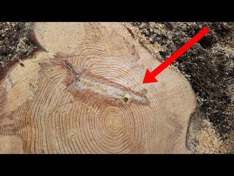 العرب اليوم - شاهد: أمر غريب وٌجد بداخل شجرة تم شقّها