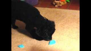 CUTE Toy Poodle Goes Crazy Protecting Bone FUNNY