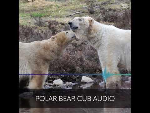 La 'voce' dell'orsacchiotto polare nelle registrazioni degli operatori del parco