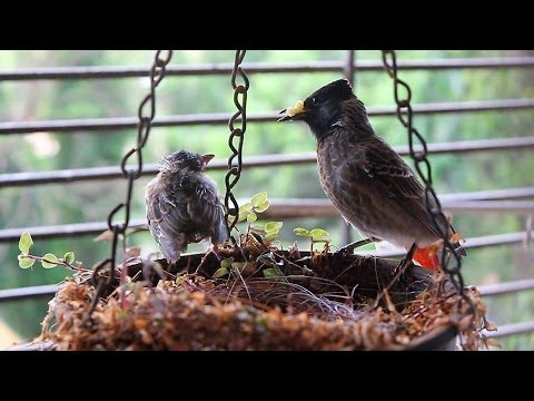 Video Juvenile Bulbul learning to fly! Red Vented Bulbul Nest: Part 2 download in MP3, 3GP, MP4, WEBM, AVI, FLV January 2017