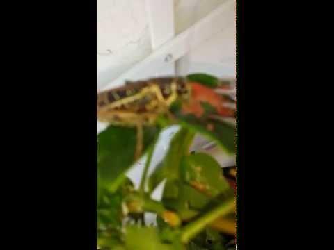 la cavalletta che mangia dalla forchetta! unico ed inimitabile