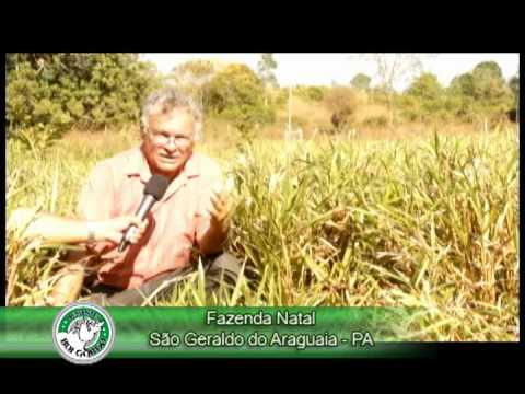 Fazenda Natal(São Geraldo do Araguaia-PA) - Semente Capim BRS Piatã - Sementes Boi Gordo