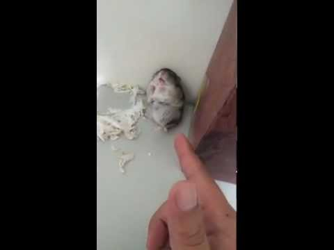 Cute Hamster Trick.