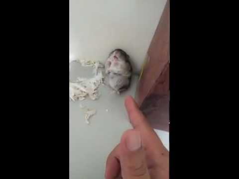 video que muestra a un Hamster Haciendose el Muerto