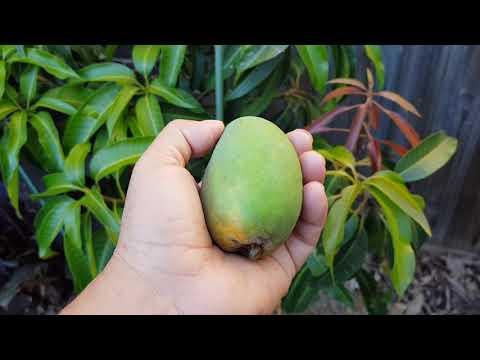 Fruiting Mango in Melbourne Australia