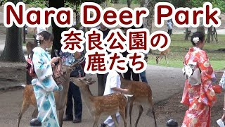 Download Video Nara Deer Park!! Japanese one of the most interesting place 【奈良公園の鹿たち】 MP3 3GP MP4