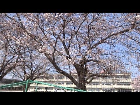 鹿沼市東小学校の桜