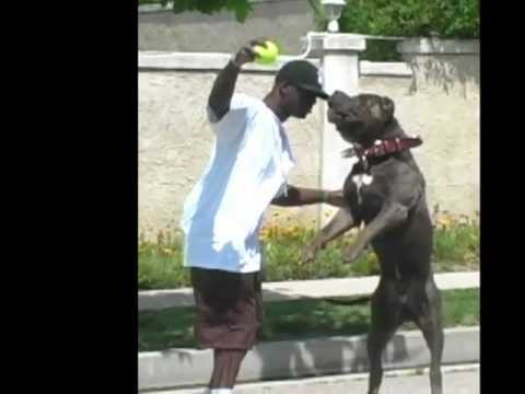 Pitbullpuppies Youtube on Pitbull Puppies For Sale  Pitbull Kennels  Pitbulls  Blue Pitbulls