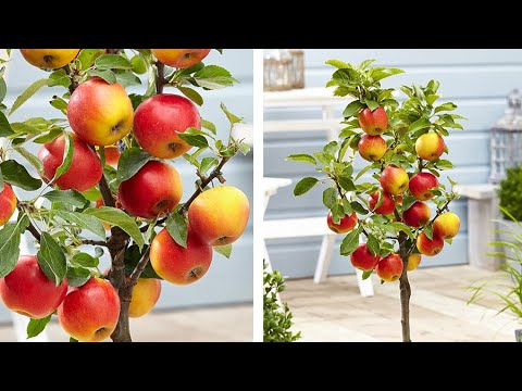 Dwarf Patio Apple Tree: Jeff Turner on how to grow Apples with miniature fruit trees