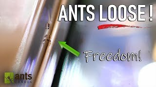 Video Allowing Ants to Free-Roam and Live in my Room MP3, 3GP, MP4, WEBM, AVI, FLV Januari 2019
