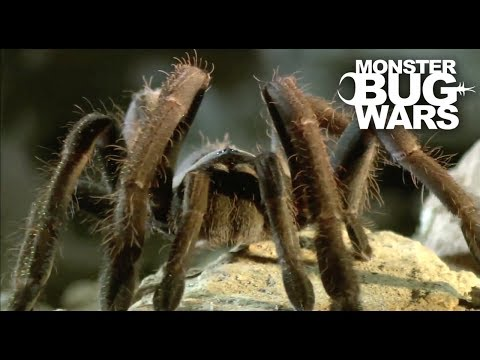 Tarantula Collection | MONSTER BUG WARS