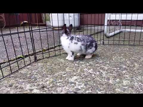 Broken Black Netherland Dwarf Rabbit