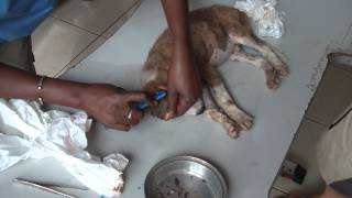 How can a 10 week old puppy get this many ticks??? http://www.vetclinicgambia.com/