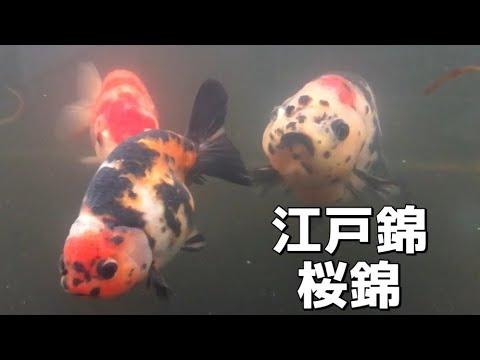 江戸錦・桜錦が泳ぐ 我が家の60W水槽 金魚と遊ぶ.com