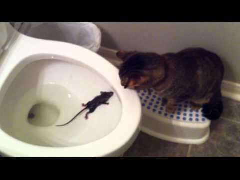 Gato rescata a ratón de un wc