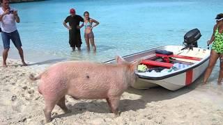 Video Pig Beach Staniel Cay MP3, 3GP, MP4, WEBM, AVI, FLV Agustus 2018