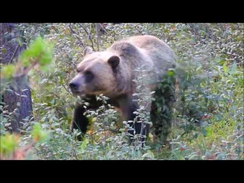 Grizzly Bears in Banff National Park