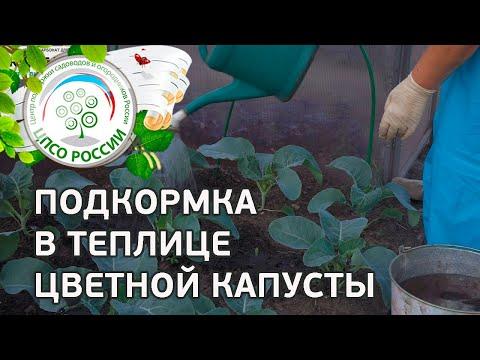 Подкормка цветной капусты. Выращивание капусты цветной осенью в теплице.