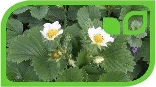 Die Bodendeckerdbeere Juni-Erdbeerwiese in der Blüte