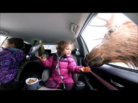 Giant Elk Sticks Head in Car and Eats Little Girls Carrots