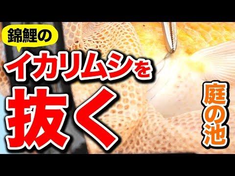【庭の池】錦鯉の治療 寄生虫イカリムシを抜く #76 2018.5.7