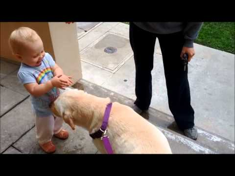 Baby Getting Kisses from Yellow Labrador Retriever