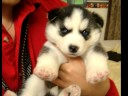 Siberian Husky Puppy- Selene