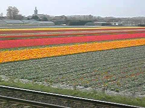 jouwpagina - Some early tulip fields in Holland in the beginning of spring. De eerste tulpenvelden in Nederland aan het begin van de lente. See also brazilie.jouwpagina.n...