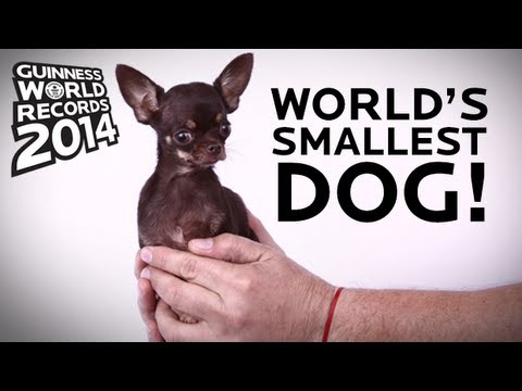 Meet The World's Smallest Dog, Milly--only 3.8 inches tall