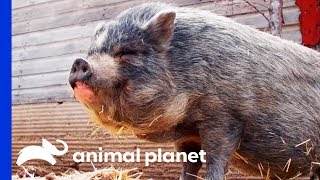 Vets Visit Rescued Pigs At Hog Haven Sanctuary | Dr. Jeff: Rocky Mountain Vet by Animal Planet
