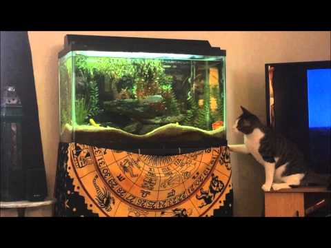 Cat fails horribly at catching aquarium fish