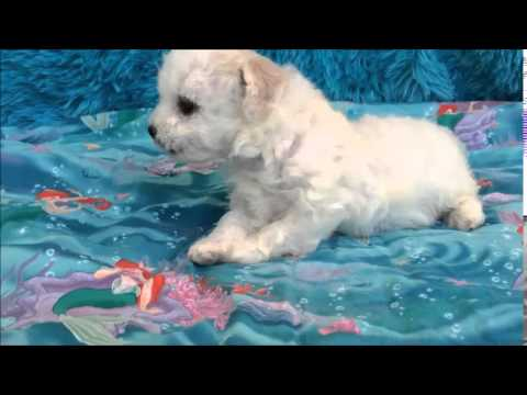 Bichon Frise puppy available for sale