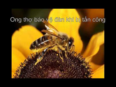 Tập tính vị tha của ong - Cách loài ong bảo vệ bầy đàn