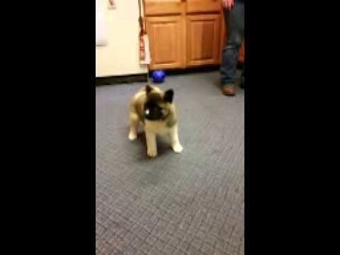 Super cute Akita female