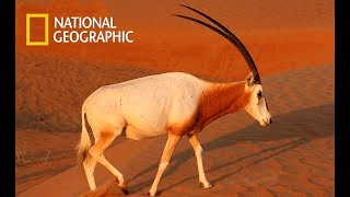 Wild Arabia   Hidden Deep In The Desert   Death In The Dunes  Nat Geo Wild