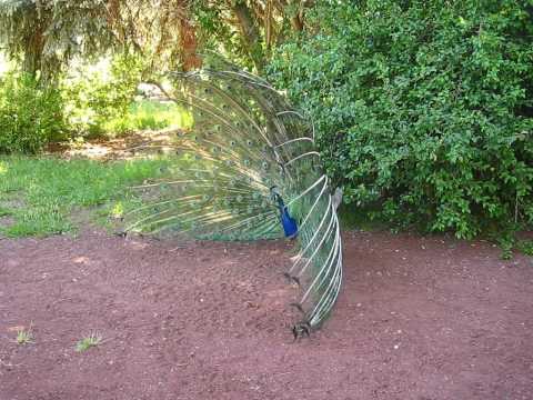 Peacock surprise.AVI