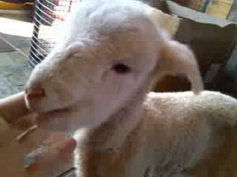la commovente storia dell'agnellino cieco che fece pentire un pastore